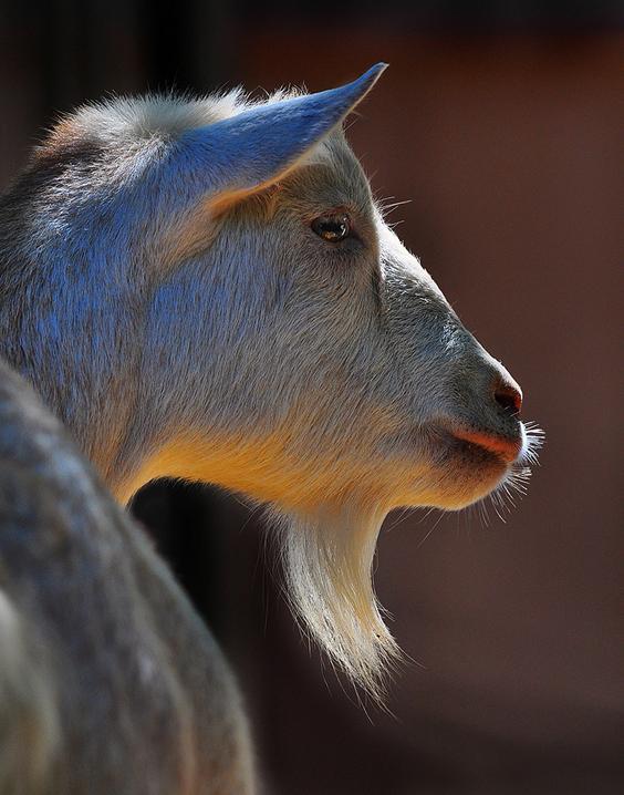 goat - 564